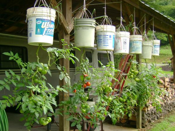 How to Grow Hanging Tomato Plants with a DIY Upside Down Planter